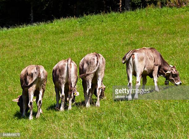 cows on the alp
