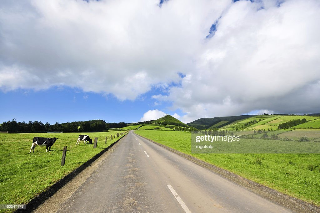 Cows on the country road : Stock Photo