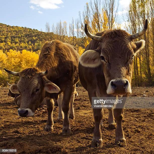cows on the farm - vicente méndez fotografías e imágenes de stock