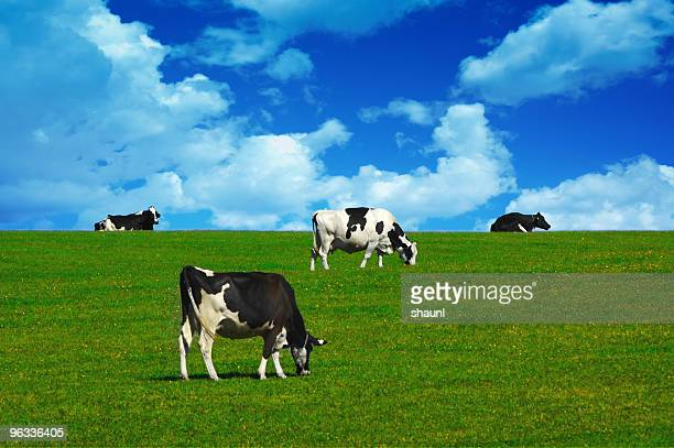 Cows on the Hill