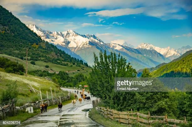 cows on the road near mestia in the svaneti region of georgia - june 28, 2017 - コーカサス山脈 ストックフォトと画像