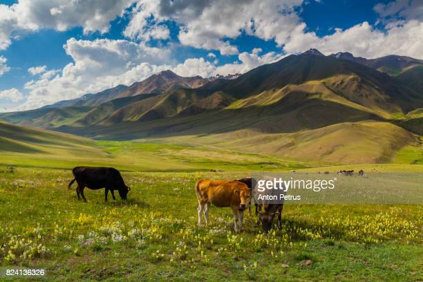 cows on the slope in the mountains - pasture stock pictures, royalty-free photos & images