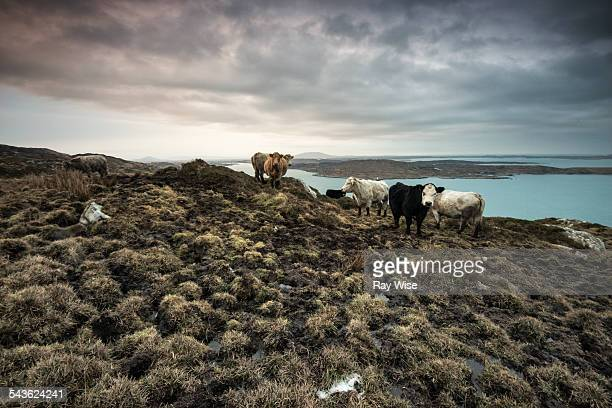 Cows overlooking the Atlantic Coast