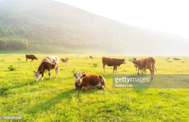 cows - grazing stock pictures, royalty-free photos & images