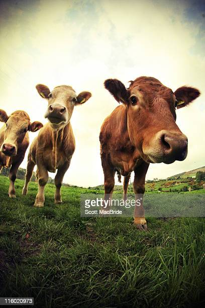 cows - scott macbride stock pictures, royalty-free photos & images