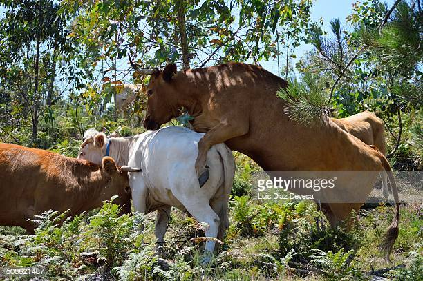 cows - bull testicles stock pictures, royalty-free photos & images