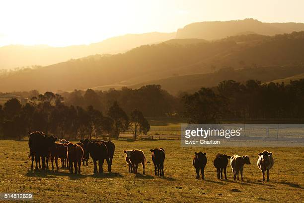 cows - ranch stock pictures, royalty-free photos & images