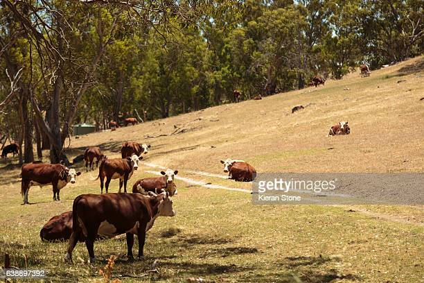 cows - barossa valley stock pictures, royalty-free photos & images