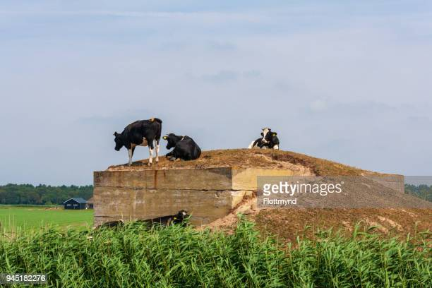 Cows playing around on an old bunker
