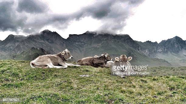 Cows Relaxing On Grassy Field In Front Of Mountains Against Cloudy Sky