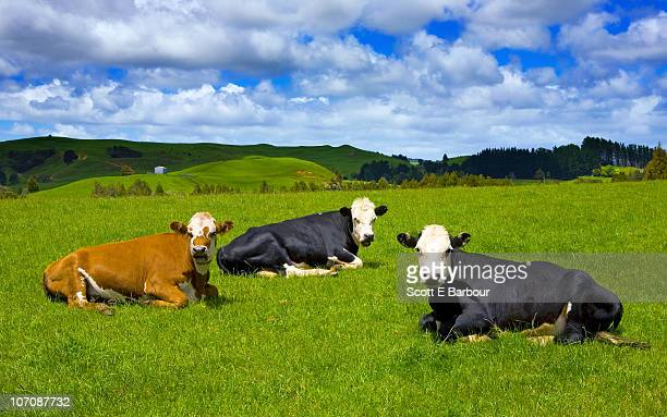 Cows resting in the countryside