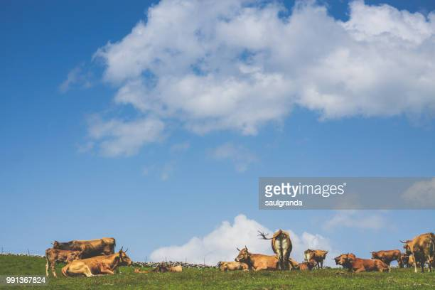 Cows resting on the top of the hill