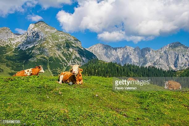 kühe ruhen, salzburgerland - viehweide stock-fotos und bilder