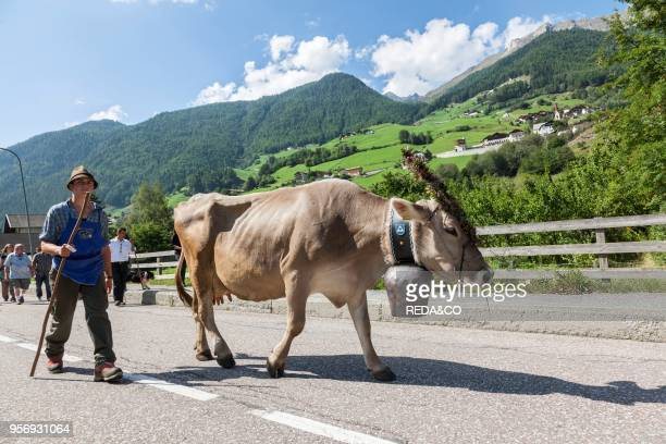 Cows returning from their summer pastures in the mountains for winter in the valley of Martell At the end of summer the cows are driven back in a cow...