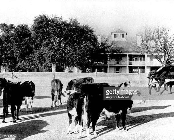 Cows seen in front of the clubhouse at Augusta National Golf Club in 1943 in Augusta Georgia