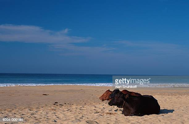 cows sit on beach - sirulnikoff stock photos and pictures