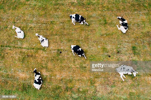 cows sitting - aerial view - milk pack stock photos and pictures