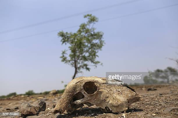 A cow's skull sits in a field near Latur Maharashtra India on Saturday April 16 2016 Hundreds of millions of people in India are grappling with one...