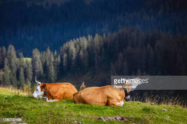 2 cows (one mooing on left) spending summer on altitude alpine meadows in the swiss alps near gastlosen mountain range - cow mooing stock pictures, royalty-free photos & images