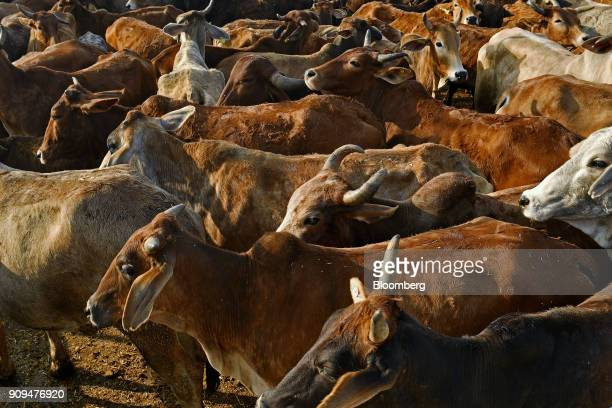 Cows stand at the Sri Krishna Gaushala on the outskirts of New Delhi India on Sunday Jan 21 2018 The nursing home offers free food and lodging a...