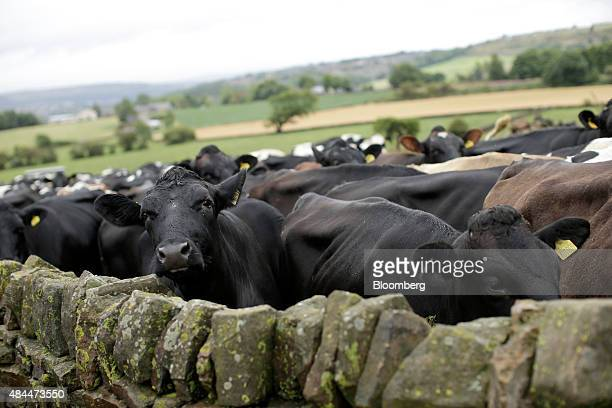 Cows stand behind a dry stone wall before being herded to the milking parlor at the Our Cow Molly Farm and Dairy near Sheffield UK on Friday Aug 2015...