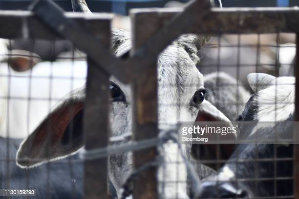 Cows stand behind a gate at a cow shelter in Aligarh Uttar Pradesh India on Tuesday Feb 19 2019 A clampdown by Prime Minister Narendra Modi backed by...