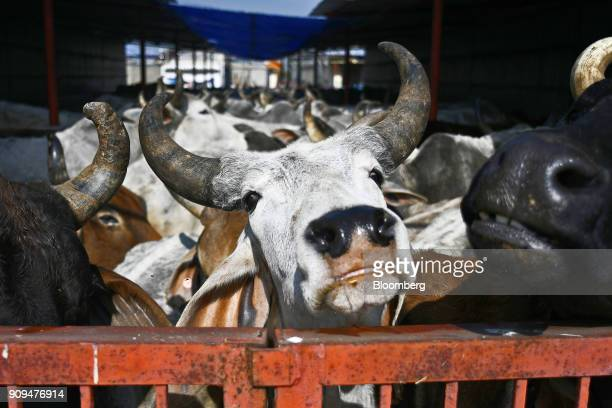 Cows stand behind a gate in a cattle shed at the Sri Krishna Gaushala on the outskirts of New Delhi India on Sunday Jan 21 2018 The nursing home...
