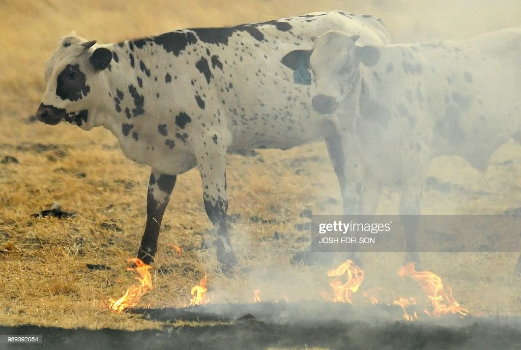 Cows stand in a burning pasture in Guinda, California on July 01, 2018. - Californian authorities have issued red flag weather warnings and mandatory evacuation orders after a series of wildfires fanned by high winds and hot temperatures ripped through thousands of acres. The latest blaze, the County Fire sparked in Yolo County on June 30, had by July 1 afternoon spread across 22,000 acres (9,000 hectares) with zero percent containment, according to Cal Fire.