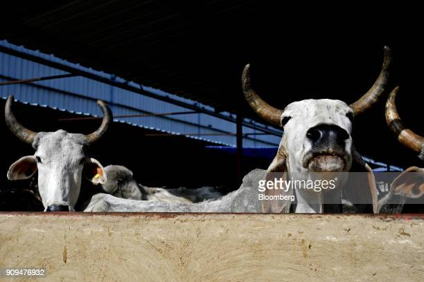 Cows stand in a cattle shed at the Sri Krishna Gaushala on the outskirts of New Delhi India on Sunday Jan 21 2018 The nursing home offers free food...