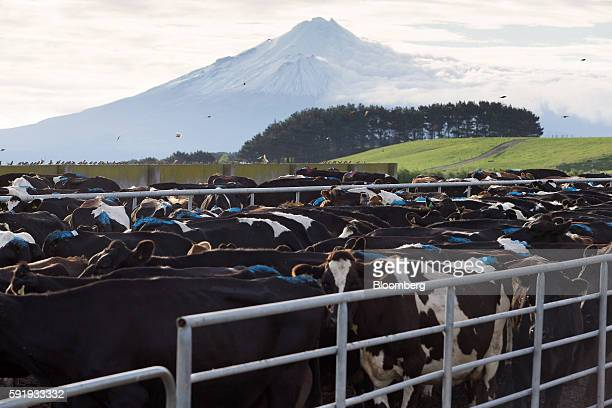 Cows stand in a holding pen at a dairy farm that supplies milk to Fonterra Cooperative Group Ltd as Mount Taranaki stands in the distance in Hawera...
