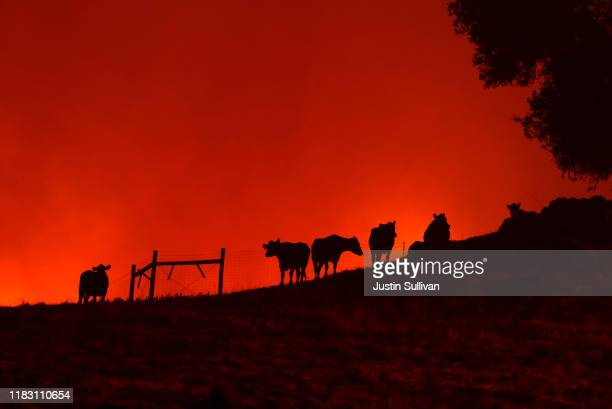 Cows stand on a hill as the Kincade Fire approaches on October 24 2019 in Geyserville California Fueled by high winds the Kincade Fire has burned...