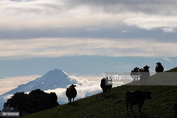 Cows stand on a hill at a dairy farm that supplies milk to Fonterra Cooperative Group Ltd as Mount Taranaki stands in the distance in Hawera New...
