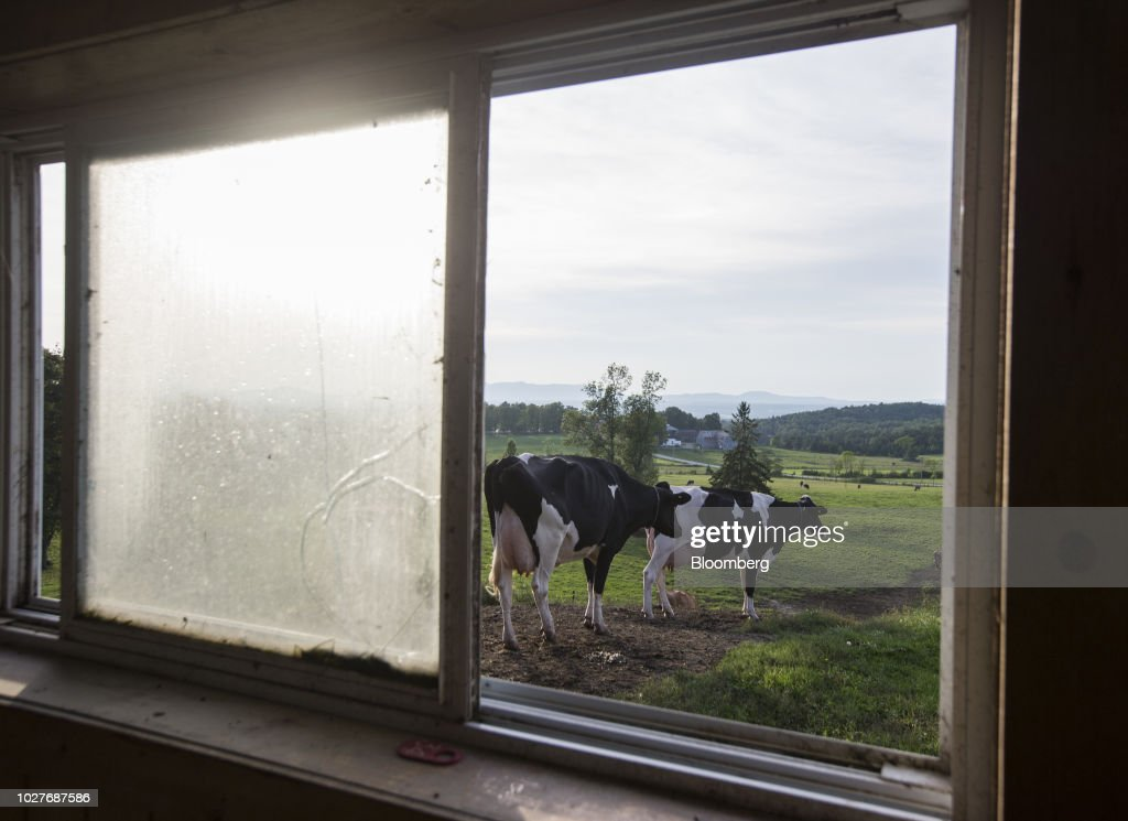 Cows Stand Outside A Barn At The Lookout Dairy Farm In North Hatley Quebec
