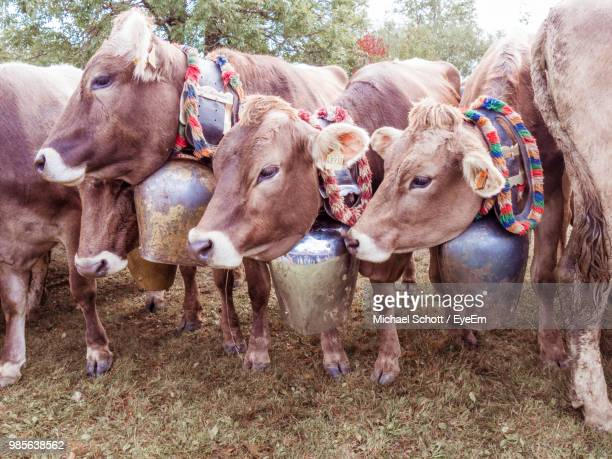 Cows Standing At Farm