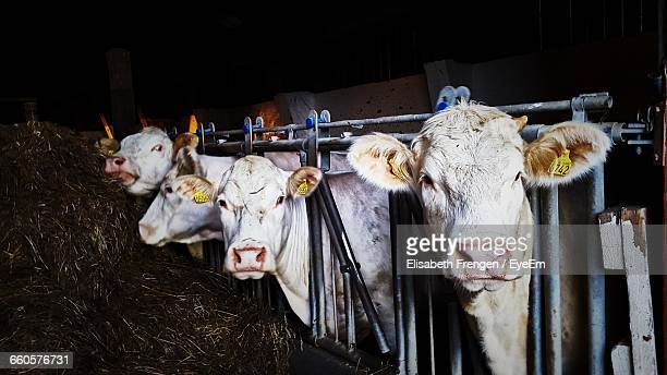 Cows Standing At Pen