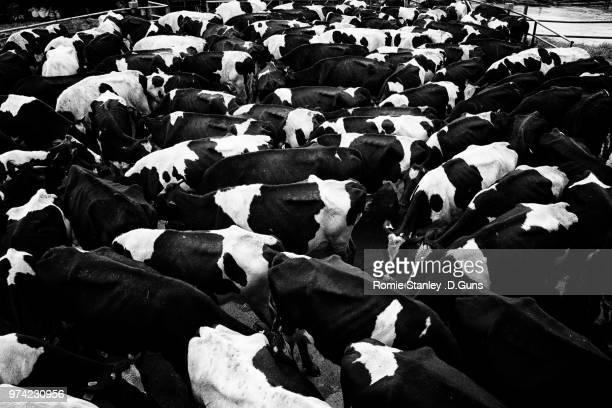 Cows standing behind fence, Mesilau, Kundasang, Ranau, Sabah, Malaysia