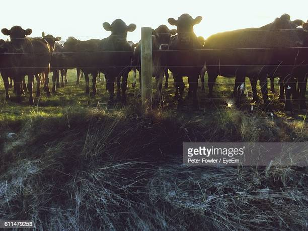 Cows Standing By Fence On Grassy Field