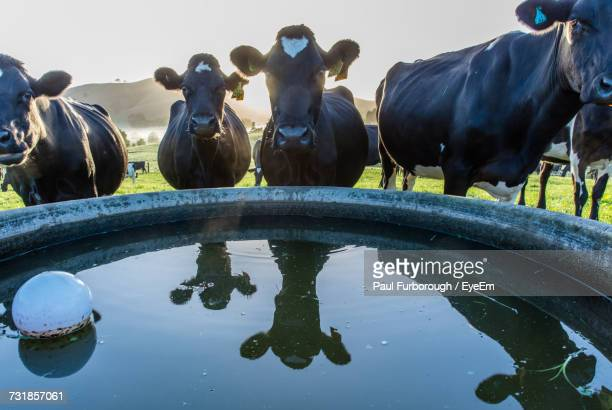 cows standing by trough on field - trough stock photos and pictures