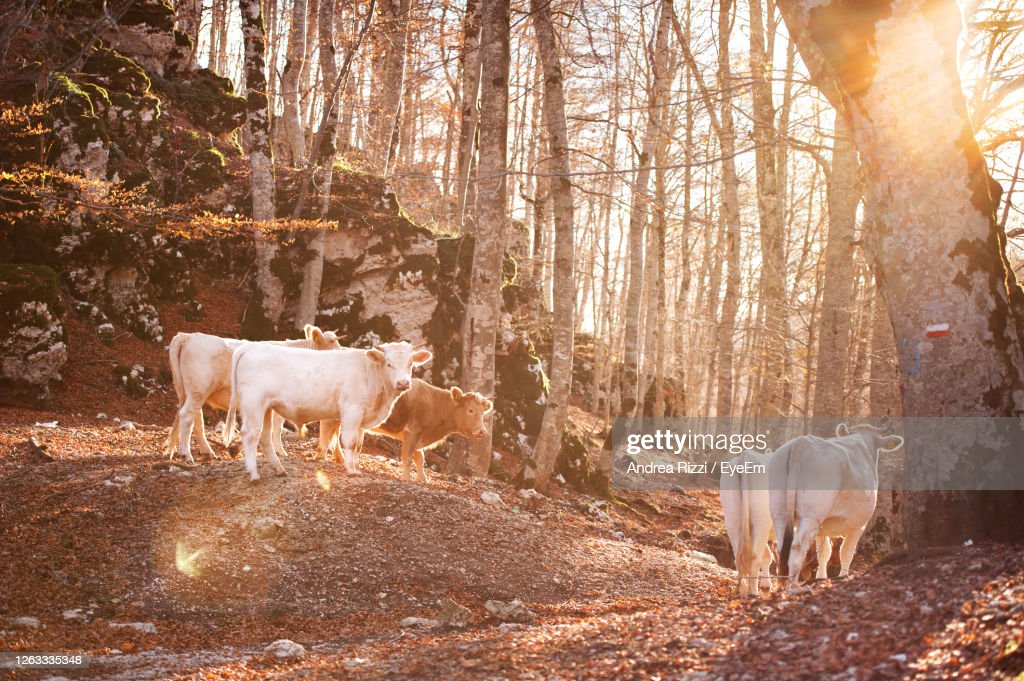 Cows Standing In A Field : Foto stock