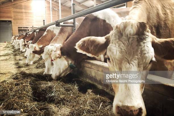 cows standing in a row and eating grass - nutztier stock-fotos und bilder