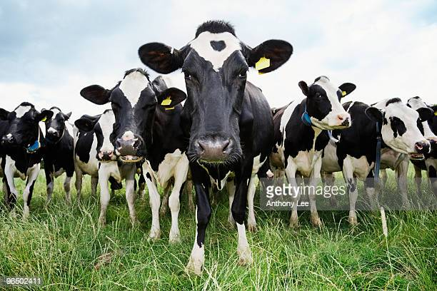 cows standing in a row looking at camera - livestock stock pictures, royalty-free photos & images