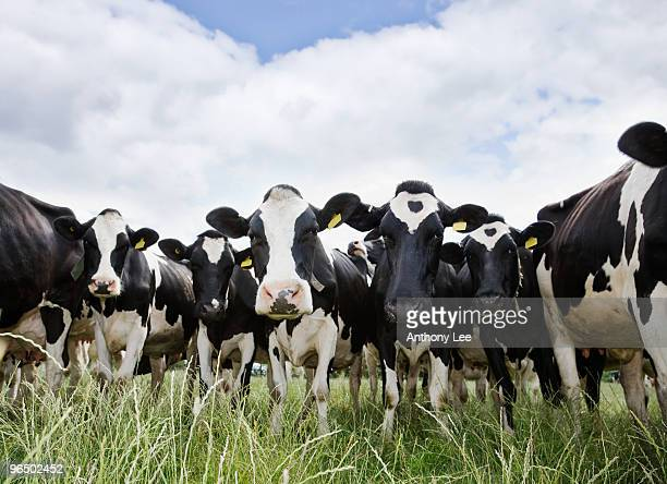 Cows standing in a row looking at camera