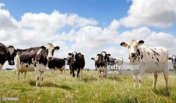 cows standing in field, portrait - 家畜牛 ストックフォトと画像
