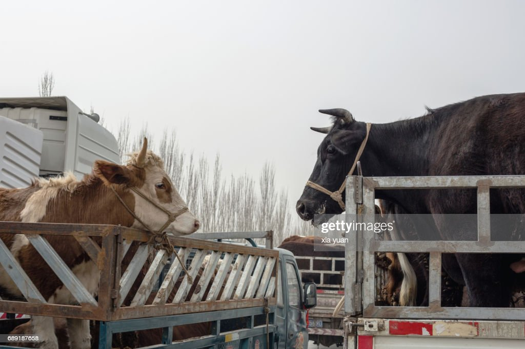 Cows standing in van and looking face to face on the Kashgar Sunday Bazaar,China : Stock Photo