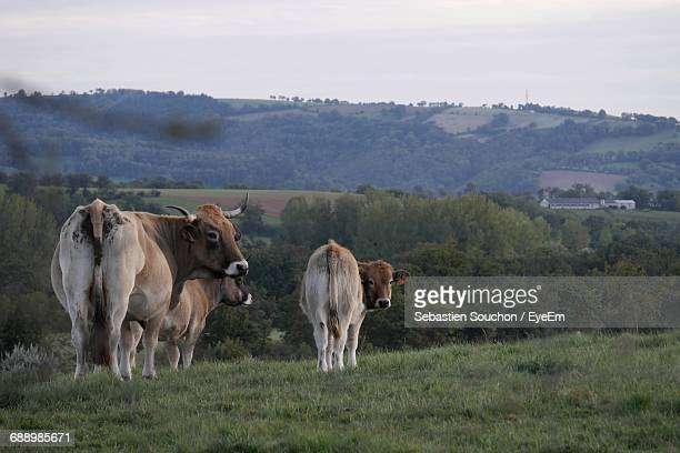 cows standing on field against mountain - aveyron stock pictures, royalty-free photos & images
