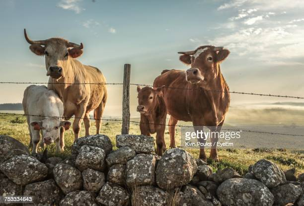 Cows Standing On Field Against Sky