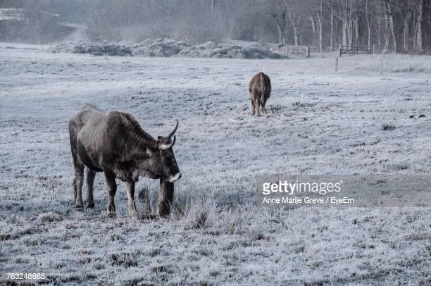 Cows Standing On Field During Winter