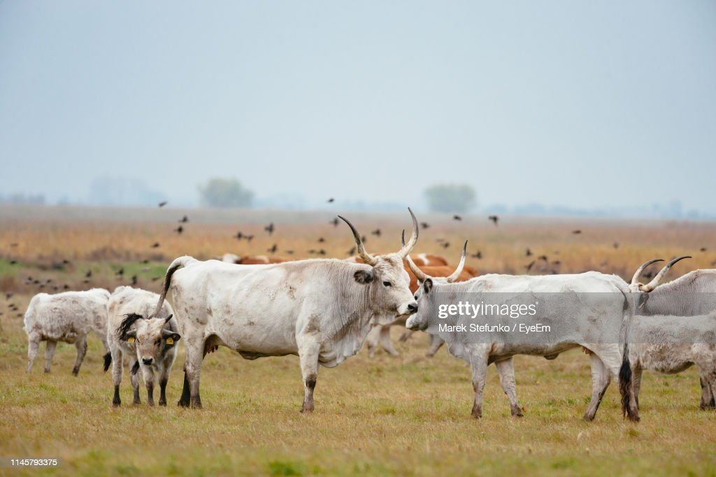 Cows Standing On Grassy Field Against Clear Sky : Stock Photo