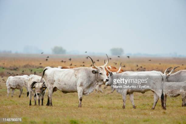 cows standing on grassy field against clear sky - marek stefunko stock photos and pictures
