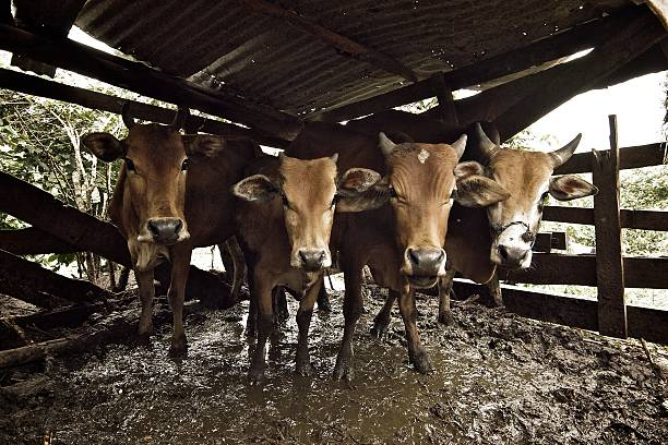 Cows Staring Back Wall Art